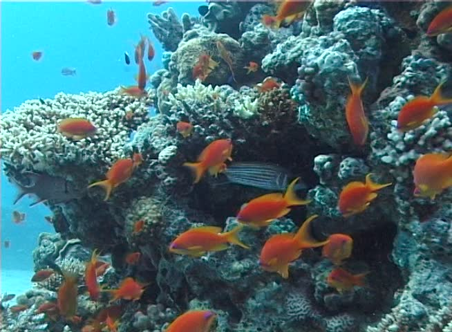 Jewel fairy basslet (Pseudanthias squamipinnis) in the Red Sea near a coral reef  | Shutterstock HD Video #1007085040