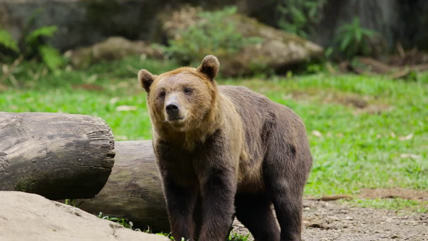 Video footage of a big brown bear rubs his body on the wood at the zoo #1007092606