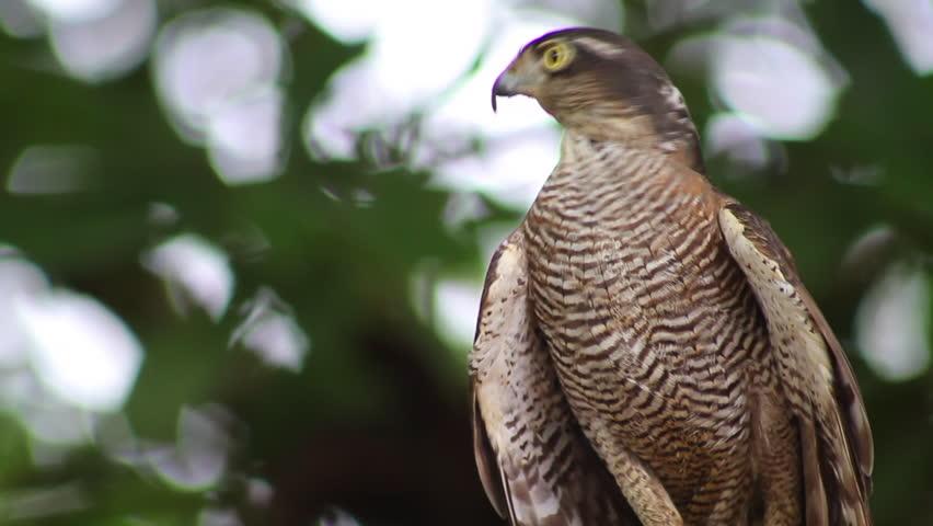 Sparrow Hawk Standing On A Tree | Shutterstock HD Video #1007148808