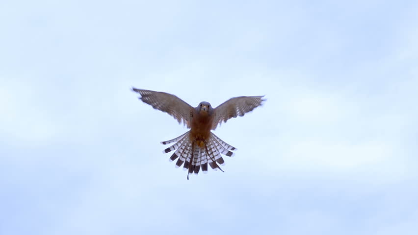 Small Rock Kestrel Falcon hovering in the middle of frame slow motion 250 fps