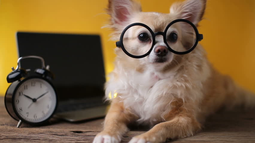 cute glasses chihuahua dog with laptop and alarmclock on wooden table with yellow background