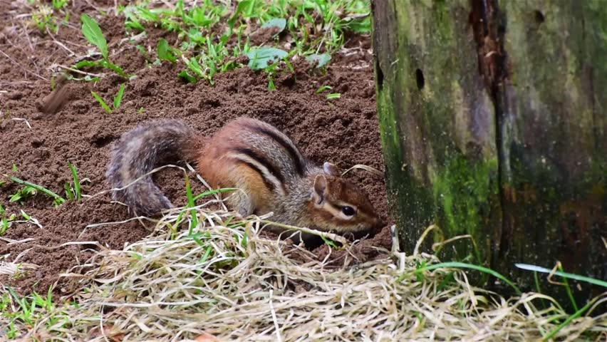 A chipmunk digs a hole in the ground to create an underground burrow. The hole is close to a mossy tree stump.