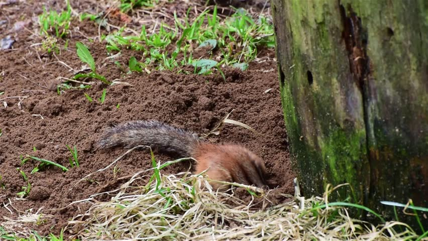 A chipmunk emerges from the ground. Pushes the dirt around with his or her nose. Digs. Then cleans itself before going back down the hole.