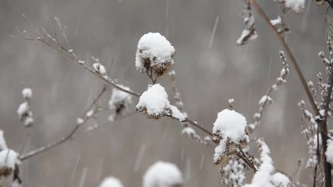 Dry burdock with large caps of snow during the snowfall against winter forest background in sunny day.