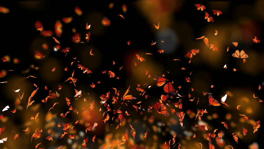 Monarch Butterfly Swarm Dance, Slow motion flying, macro view, isolated on black background best for fashion sale or summer background with alpha mask loop.