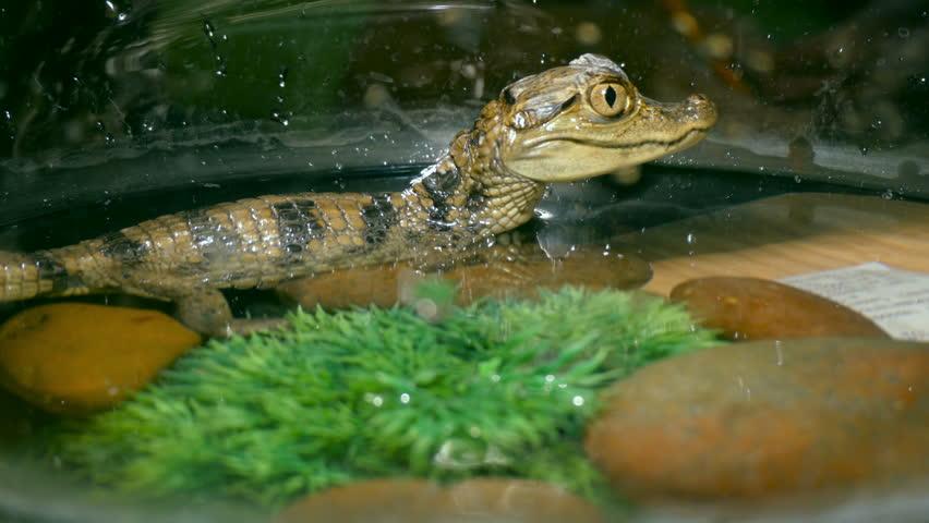 A small crocodile in the Aquarium   Shutterstock HD Video #1007378344