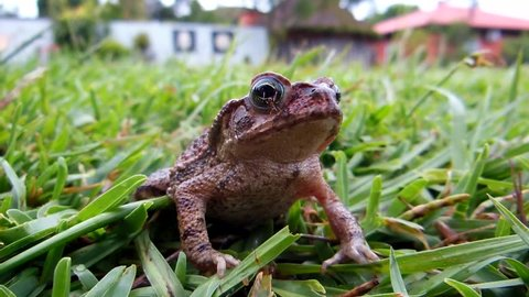 Frog (Bufo bufo) in the garden grass with ants