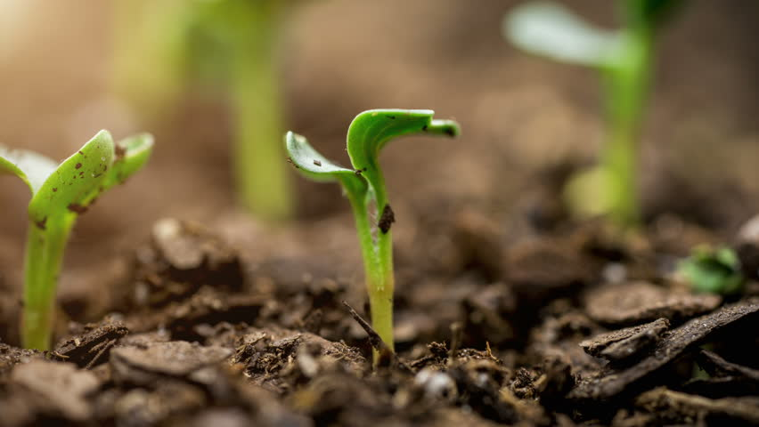 A seed growing time lapse video of the germination process with sun flare.