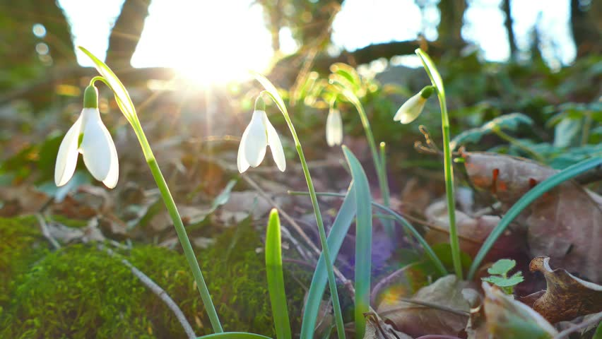 Snowdrops against sun, pan left, spring concept, UHD | Shutterstock HD Video #1007464537