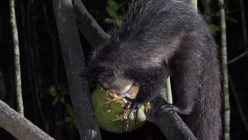 Aye-Aye in tree at night, looks around and scrapes out coconut, closeup