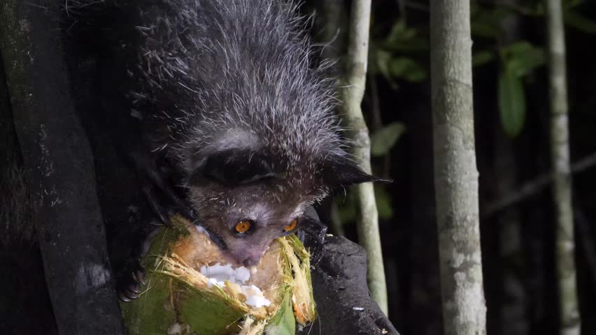 aye-aye in tree at night scrapes out coconut using long, thin finger, closeup