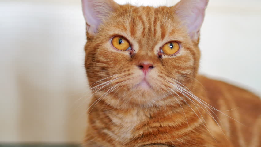 Close up cute red Scottish fold cat feeling annoyed and looking at something. | Shutterstock HD Video #1007508691