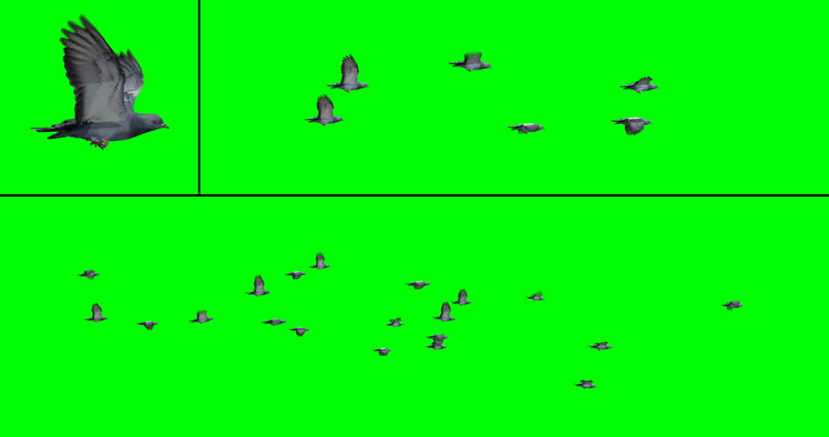 Flock of pigeons in flight for compositing onto your footage. Includes two flock options with 6 or 20 birds, on a green background. Also includes an individual pigeon flying in place.