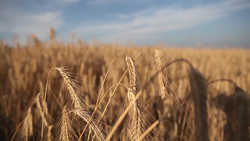 Golden wheat ready to be harvested on the blue sky background | Shutterstock HD Video #1007616712