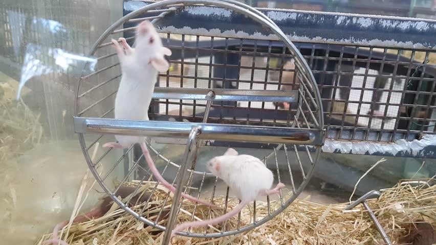 Rats running on a wheel