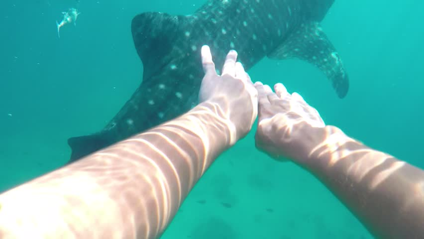 POV of caucasian man diving with a whale shark in Oslob Cebu in the Philippines
