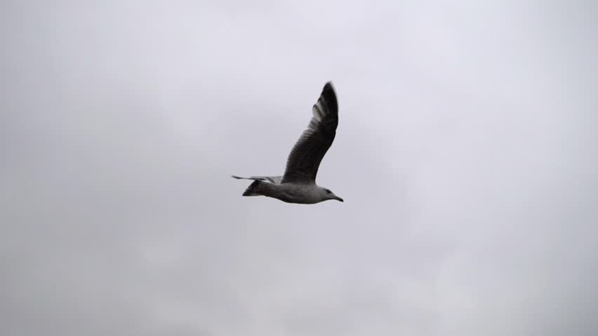 Seagull flying very close to camera in slow motion. | Shutterstock HD Video #1007680210