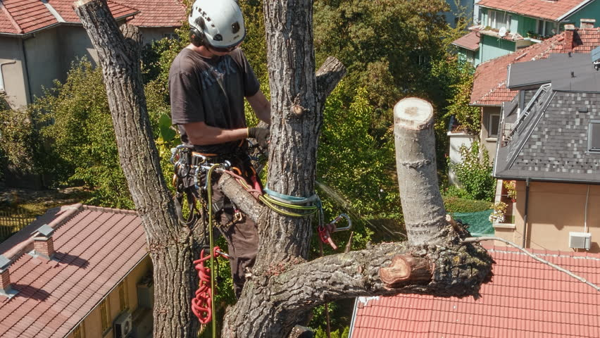 Certified arborist climbing on a big poplar tree and cutting its branches. | Shutterstock HD Video #1007685595