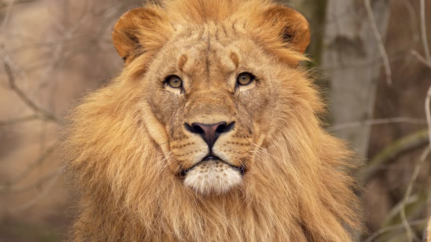Southwest African lion gaze #1007742019