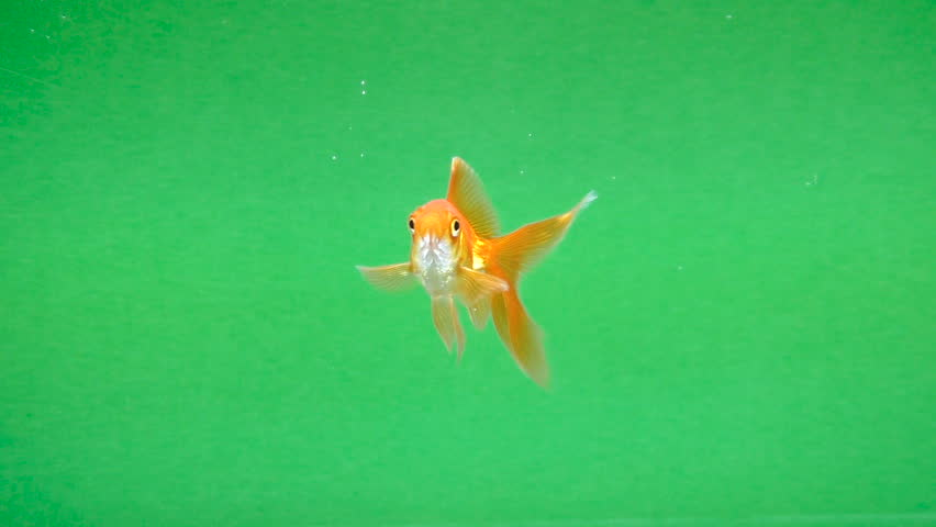 Gold fish fun swimming on green screen, fast isolated | Shutterstock HD Video #1007742685