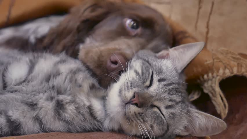 cat and a dog are sleeping together friendship indoors funny video. cat and dog #1007770546