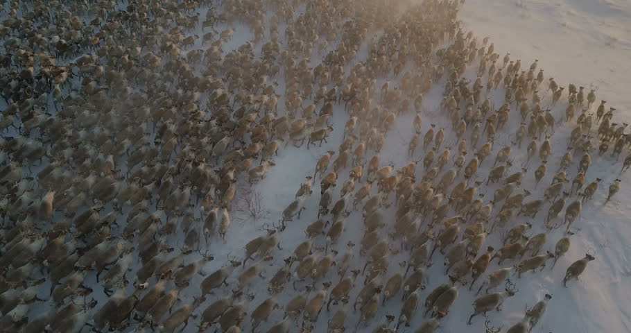 aerial travelling over reindeer herd running in the tundra, north Canada.