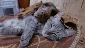 cat and a dog are sleeping together funny video. friendship cat and indoors dog