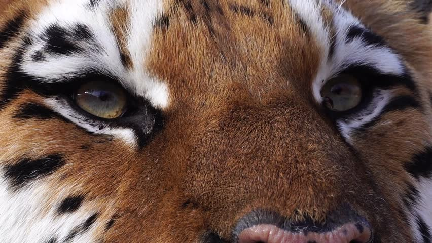 Close up view of tiger head.