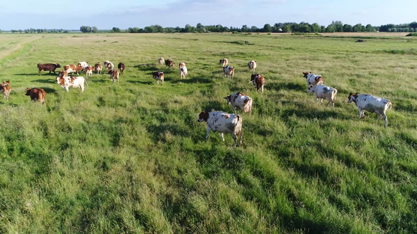 Aerial view of dutch red Holstein cattle walking over grass field meadow Friesians Holstein cattle in short Holsteins are known as the world's highest-production dairy animals beautiful summer day 4k