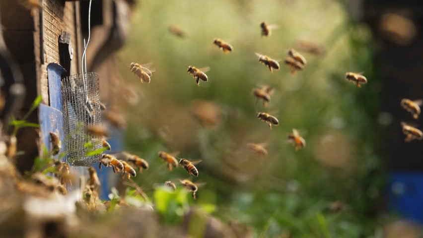 Slow motion of bee hive, bee colony flying around beehive