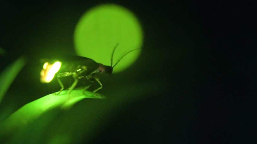 I took a video of the desperately glowing fireflies with a high sensitivity camera.