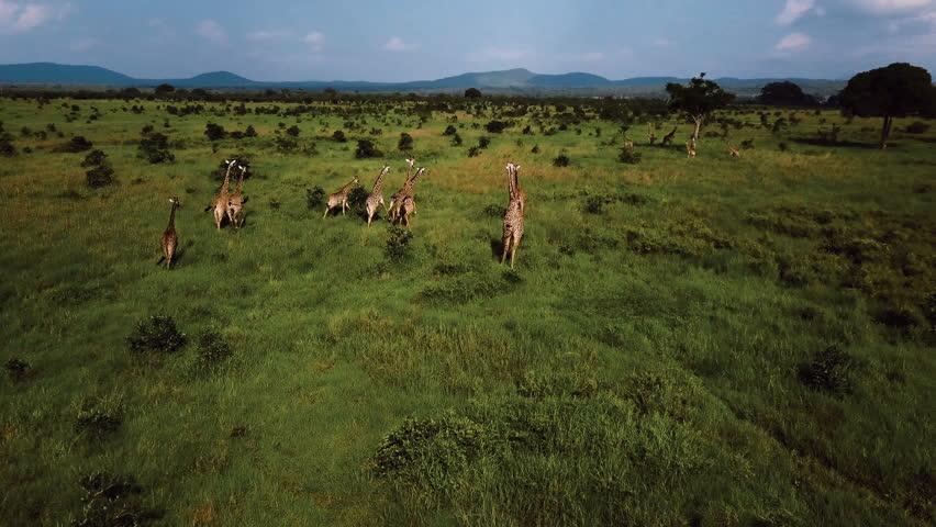 AERIAL: Giraffes in Tanzania safari Mikumi | Shutterstock HD Video #1007942614