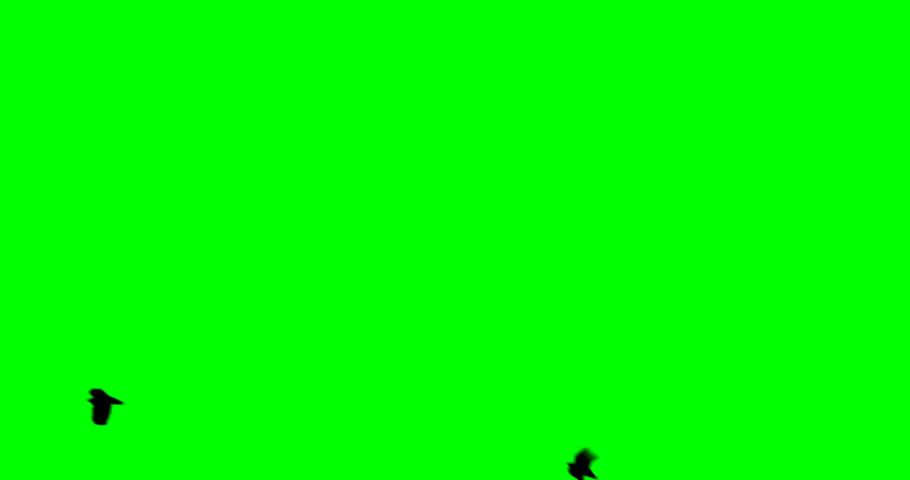 A flock of black large crow flies and flies to the green screen