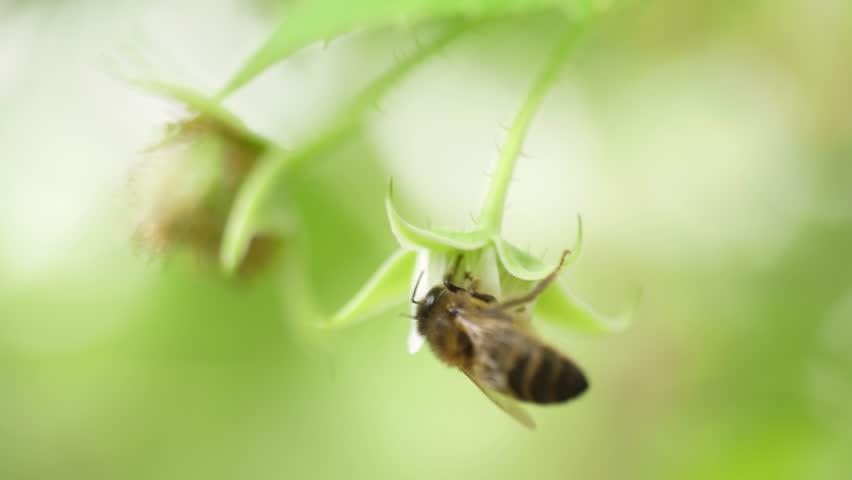 Honey bees on flower pollination macro shot slow motion 4k   Shutterstock HD Video #1007995477