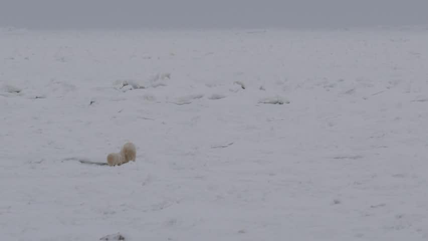 Polar bear and cub walk through broken up sea ice in far north