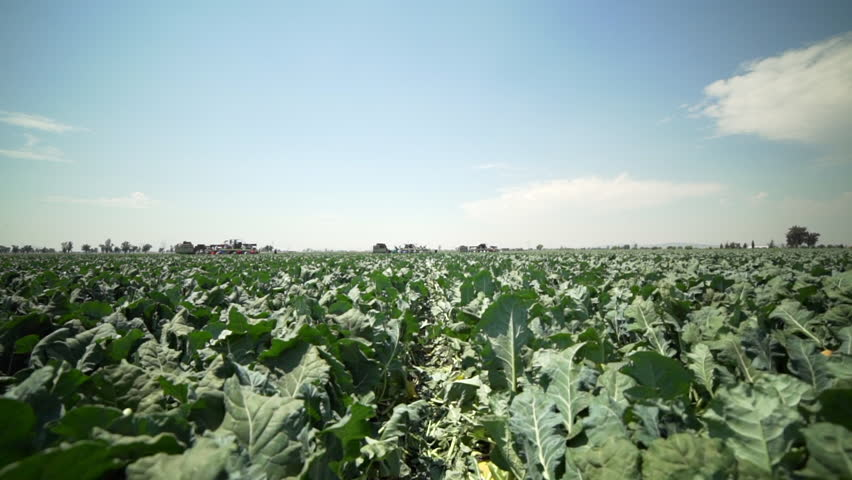 Steadicam shot of farmers and trucks in a field picking and sorting broccoli in Central Mexico. | Shutterstock HD Video #1008034306