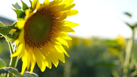 SUNFLOWER - sunflower blowing in the breeze