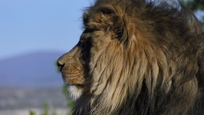 lion looks at camera in magestic slow motion #1008101674