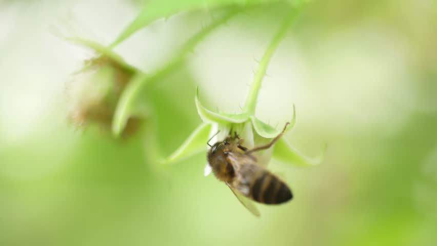 Honey bees on flower pollination macro shot 4k   Shutterstock HD Video #1008108886