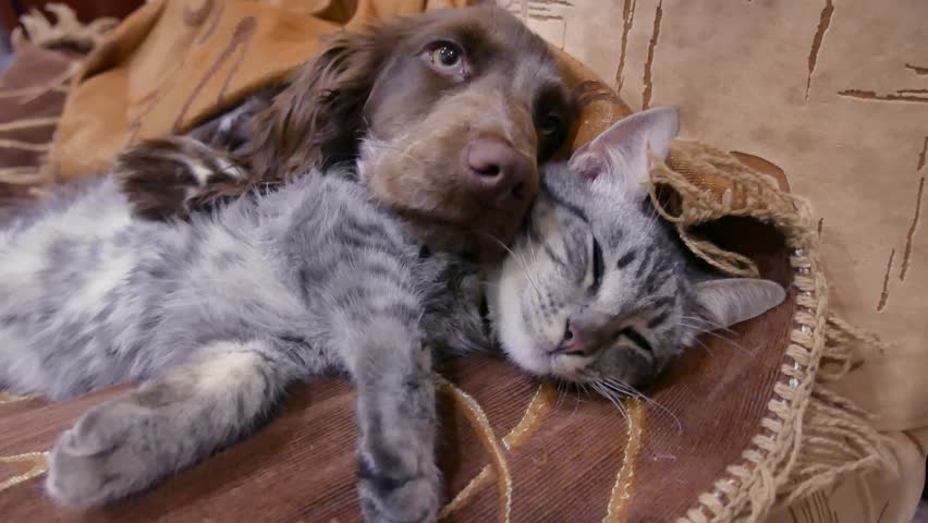 cat and a dog are sleeping together funny video. friendship cat indoors and dog #1008125413