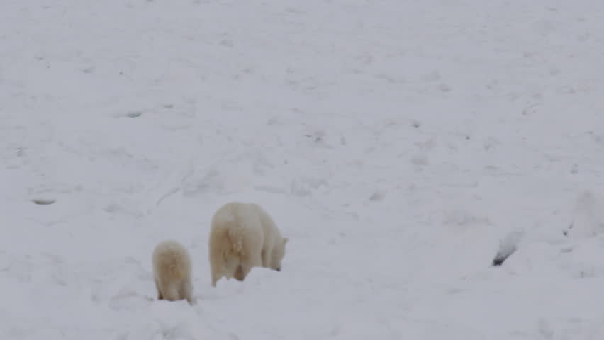 Slow motion - polar bear sow and her cub make their way through the jumbled blocks of ice on the frozen sea
