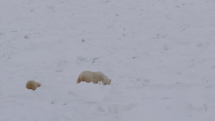 Slow motion - polar bear mum leads baby cub through broken sea ice in arctic