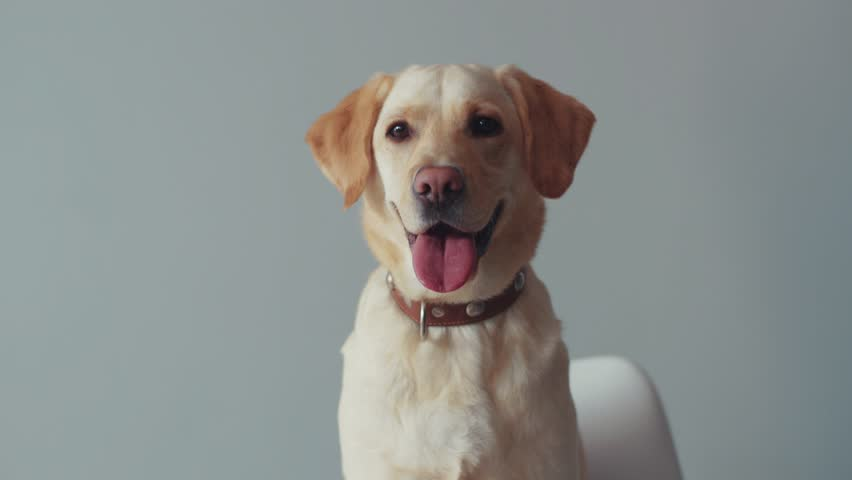 Happy portrait cute labrador dog beautiful look at camera animal large retriever home funny adult sitting doggy pedigree friendly playing pet yellow domestic joy puppy golden cheerful love white