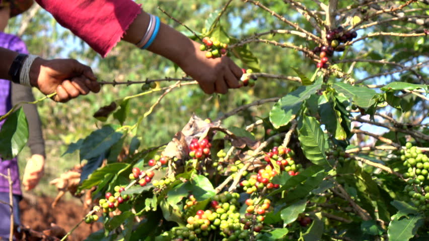 Close up farmer hand picking coffee bean in the plant | Shutterstock HD Video #1008276301
