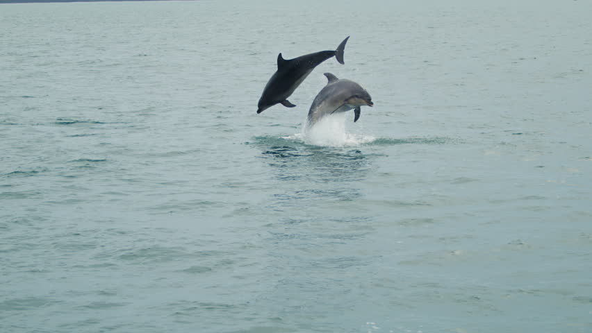 Slow motion mid-shot of two Dolphins jumping out of the water beside each other in the cool blue water.