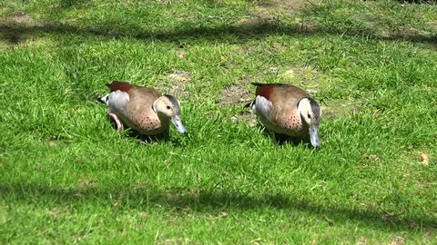 Ringed Teal ducks (Callonetta leucophrys) couple walking together on sunny grassland / Ringed Teal ducks (Callonetta leucophrys) couple walking together on sunny grassland