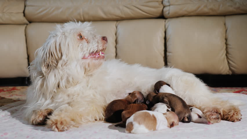 A domestic white dog feeds the puppies. Lies in the living room next to the couch
