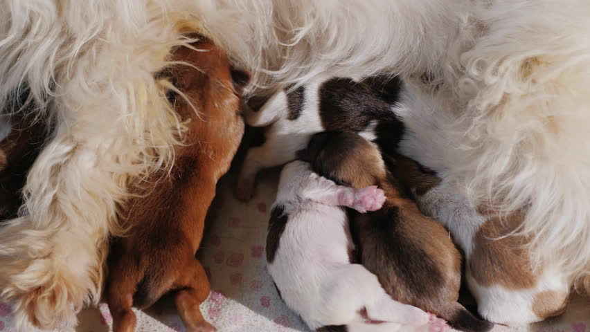 A group of small puppies eats milk from a white dog mom