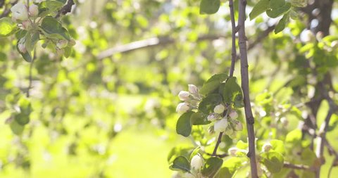 Slow motion handheld shot of of apple tree with pink flowers in a garden