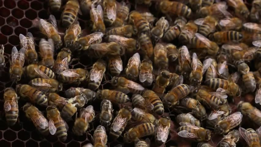Bees in a Beehive - close up shot